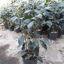 Ficus negro m12