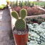 Cactus (Mickey) m10