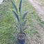 Sterlitzia reginae 10 litros
