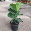 Ficus pandurata 3L