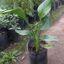 Sterlitzia reginae 3 litros